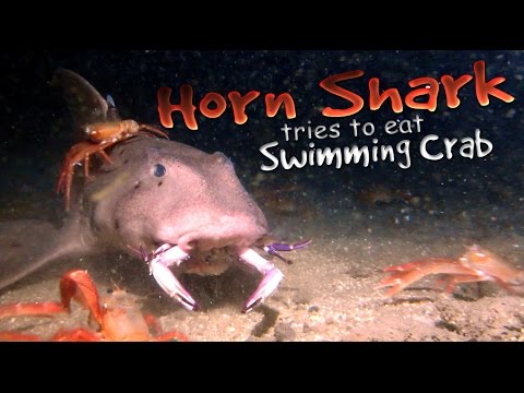 Horn Shark tries to eat crab and spits it out