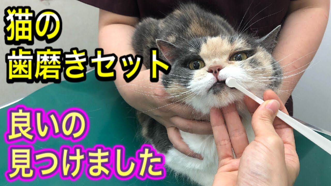 【猫の歯磨きのやり方】獣医師が理想の形に近い歯磨きセット見つけたので試してみました。
