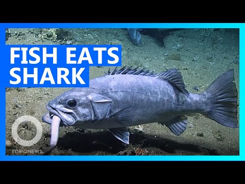 GIANT Fish Swallows Entire Shark - TomoNews