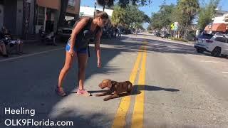 "6mo Vizsla ""Henry"" | Central Florida Dog Trainers | Vizsla Dog Trainers"