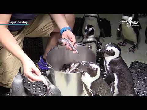 African Black Footed Penguin Feeding