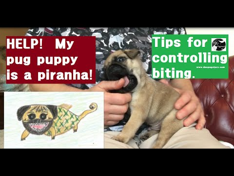 Pugs 101:  Tips to Get Your Pug Puppy to Stop Biting You