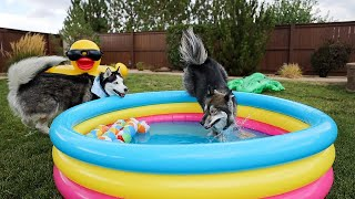 My Huskies Had A Pool Day Without Me!