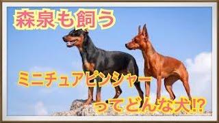 ペットで犬を飼おうと迷っている方へ〜ミニチュアピンシャー〜 世の中に...