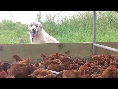 Chicken Coop Tour!