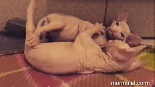 Cute Sphynx and Elf kittens. Милые котята Эльф и Сфинкс