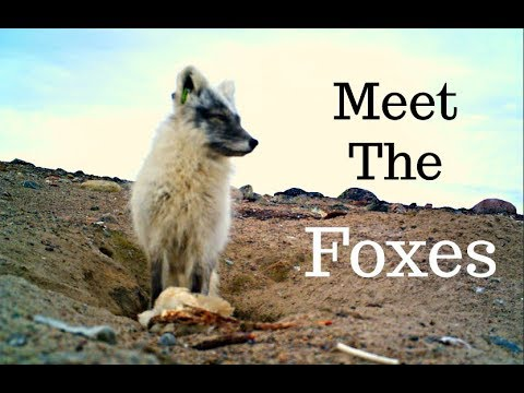Meet the Arctic Foxes - PhD Field Work