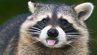 Еноты. Подборка приколов/Funny racoons