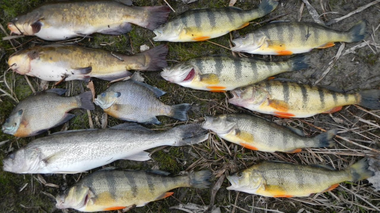 Bait fishing 78 shore fishing for jumbo perch walleye for Best worms for fishing