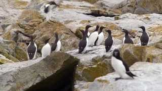Common Murres Machias Seal Island, NB, Canada