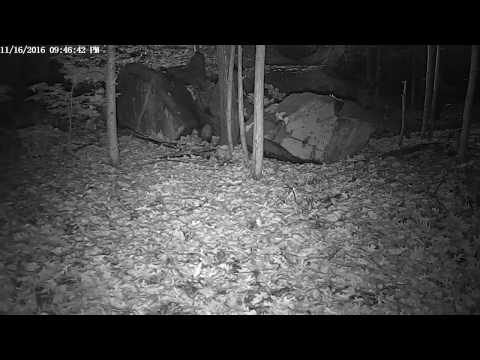 Fisher Goes After A Porcupine