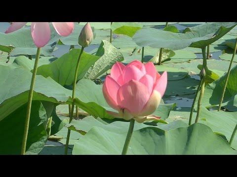 Священный цветок лотоса - Тайны растений. Лотос в жизни