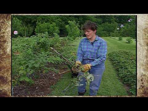 Pruning Bramble Plants
