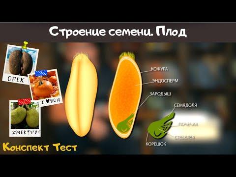 Семя. Строение семени и значение. Биология 6 класс. Плоды. Семена растений Виды плодов Видеоурок ЕГЭ