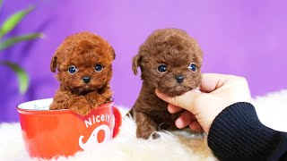 Top 10 Miniature & Teacup Dog Breeds