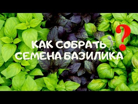 Как правильно собрать семена базилика в домашних условиях