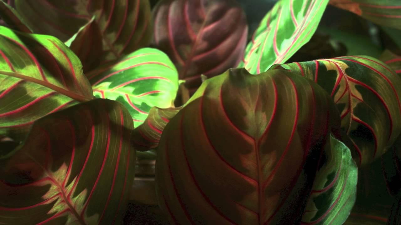 Prayer Plant Folding Up At Night Youtube