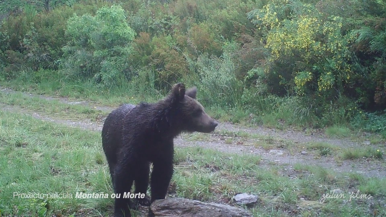 First brown bear sighting in Portugal since c1843
