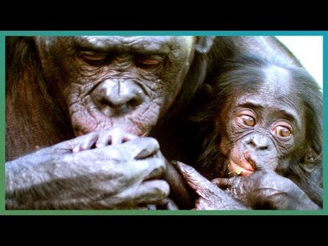 WARNING: Bonobo Cannibalism - Earth Unplugged