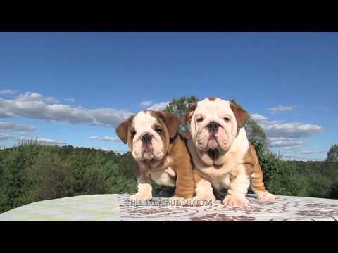 Cute English Bulldog Puppies Amp Baby Youtube