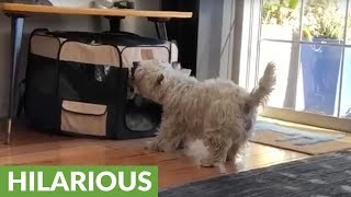 Westie acts totally surprised after bumping head