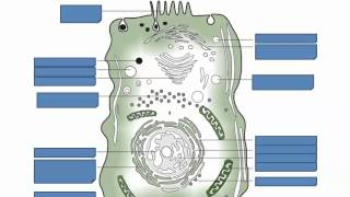 Prokaryotic and Eukaryotic Cells (IB Biology) | Alex Lee