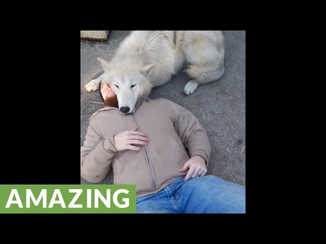 Wolf preciously cuddles with his caretaker