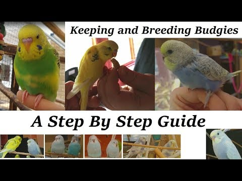 Breeding and Keeping Budgies - A step by step guide. (How to)