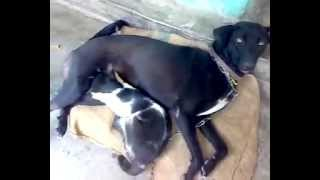 Dog feeding milk to her adopted baby cat