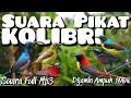 Suara pikat burung kolibri - suara pikat burung merdu | kolibri ribut | suara full mp3