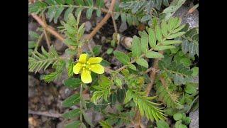 Природная виагра. Чудо растение которое у нас под ногами!