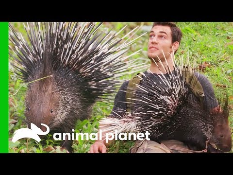Human-Raised Porcupine Needs New Home | Evan Goes Wild: Passion and Purpose