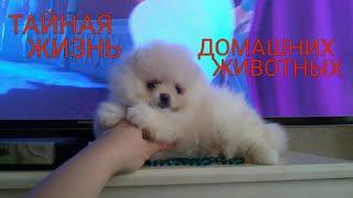 Тайная жизнь домашних животных-2. Померанский шпиц, род. 18.11.16.