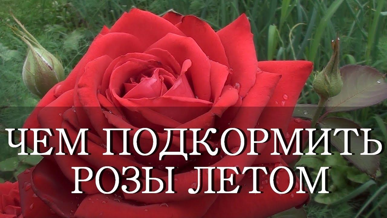 подкормить розу