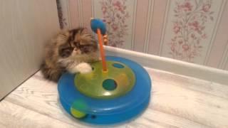 Персидский котенок 3мес. Питомник Huntor
