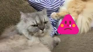 Pandainya Kucing Zara Zya Ni Dah Macam Anak Orang Mummy Cakap Pun Dia Paham Youtube