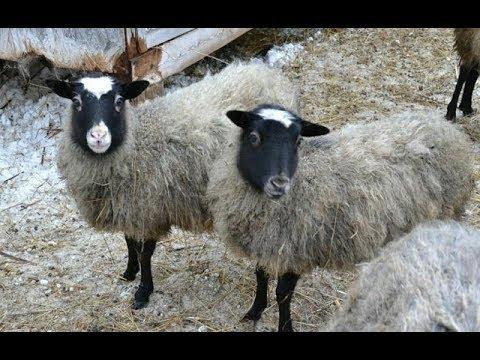 Кормление, содержание овец