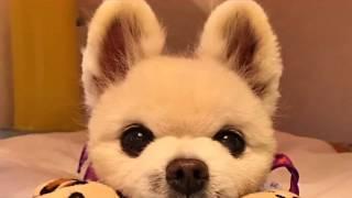 【彩虹橋再見】日本狗明星俊介病逝  終年14歲 俊介くん 検索動画 22