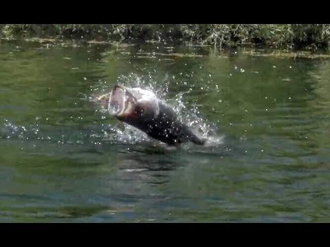 Topwater bass fishing blowups in slow motion behind the for Topwater bass fishing