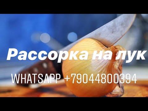РАССОРКА НА ЛУК