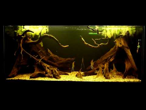 Amazon biotope aquarium youtube for Amazon aquarium fish