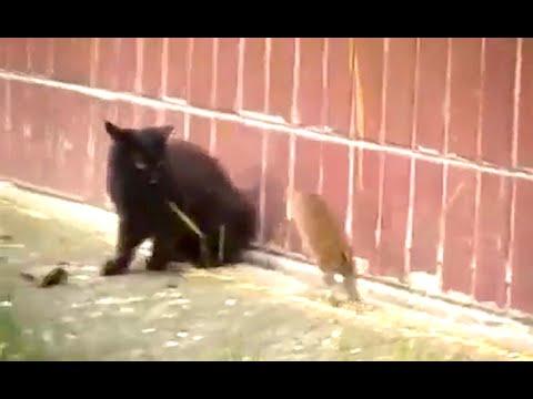 Ozzy Man Reviews: Black Cat & Big Fuck Off Rat