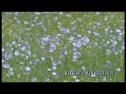 vlas - linum usitatissimum - flax