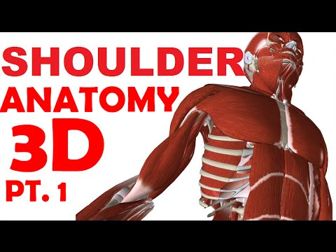 Shoulder Anatomy part 1 - Joints And Bones