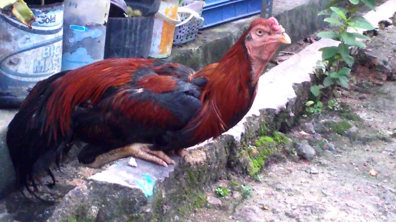 63 Gambar Ayam Ngantuk Paling Keren