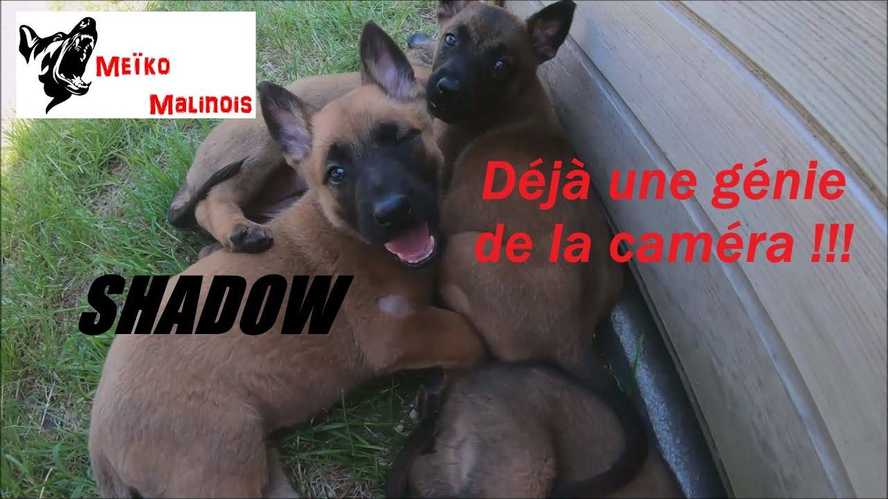 Meïko Malinois vous présente SHADOW !!!