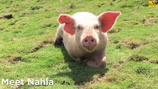 Nahla the rescued pig.