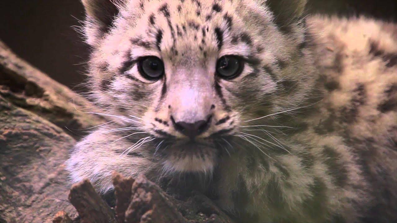 Snow Leopard Cub Hd Schneeleopard Jungtier Hd Youtube