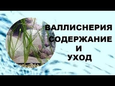 Валлиснерия содержание и уход в аквариуме. Аквариумное растение для начинающих!