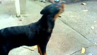 Black Lab Rottweiler Mix Puppy Eating Eating Drops